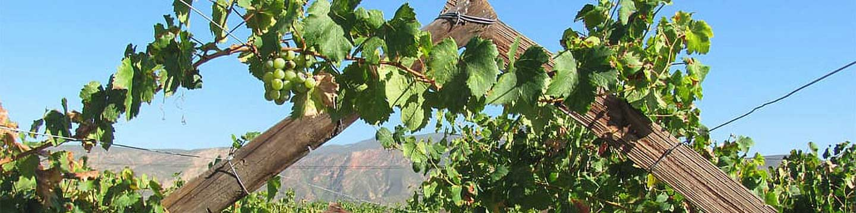 close shot of grape vine