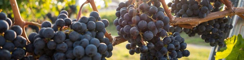 Bordeaux grapes on a vine